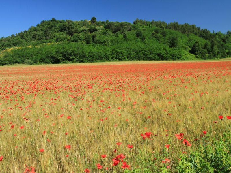 Bloemenveld Toscane